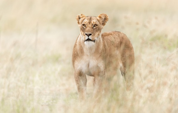 Картинка трава, саванна, Африка, львица, дикая кошка