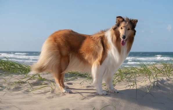 Картинка песок, море, пляж, взгляд, берег, собака, красавец, пёс, колли
