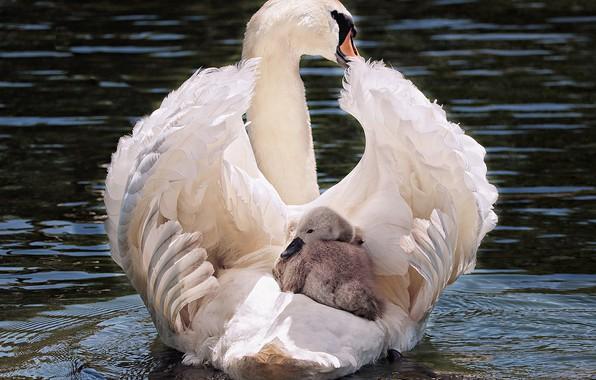 Картинка white, swan, bird, water, lake, animal, pride, elegant, feather, noble, transport, swim, waters, plumage, cygnet, …