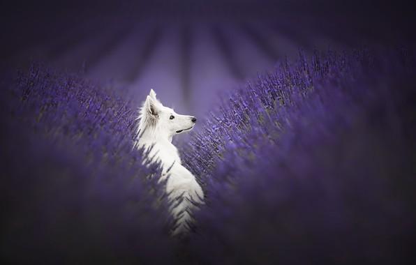 Картинка природа, друг, собака, лаванды