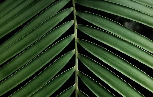 Картинка макро, пальма, листок, ветка, зелёный