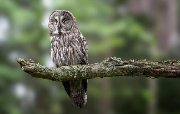 Картинка птица, ветка, бородатая неясыть