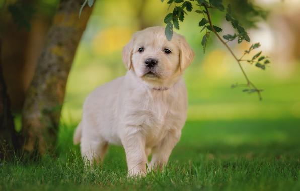 Картинка белый, трава, взгляд, листья, дерево, газон, поляна, собака, ветка, малыш, мордочка, щенок, прогулка, лабрадор, милашка, ...
