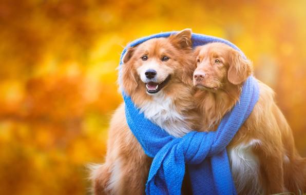 Картинка осень, собаки, тепло, фон, шарф, щенки, дружба, пара, золотой, рыжие, парочка, друзья, единство, порода, две …