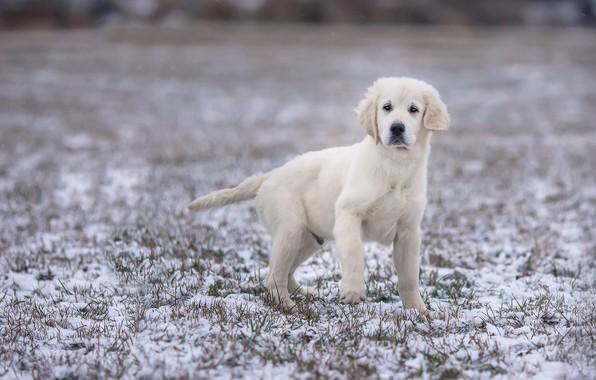 Картинка зима, поле, белый, взгляд, снег, поза, лапа, собака, малыш, щенок, стоит, лабрадор, хвостик, размытый фон, …