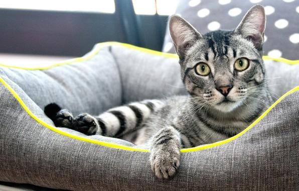 Картинка кошка, кот, взгляд, морда, поза, уют, серый, отдых, лапа, портрет, лапы, ткань, лежит, подушка, домик, …
