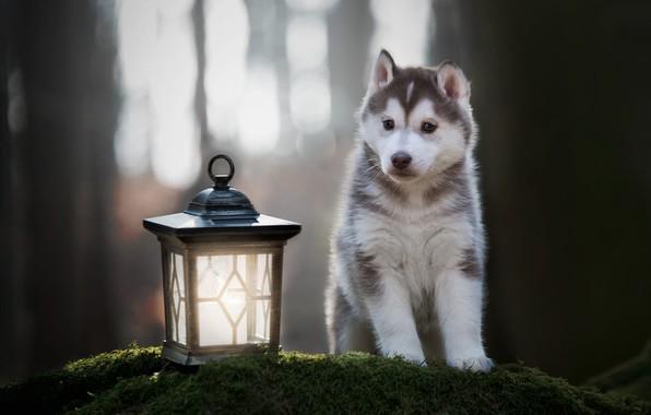 Картинка лес, взгляд, свет, деревья, поза, парк, фон, мох, собака, лапы, малыш, фонарь, милый, щенок, мордашка, …