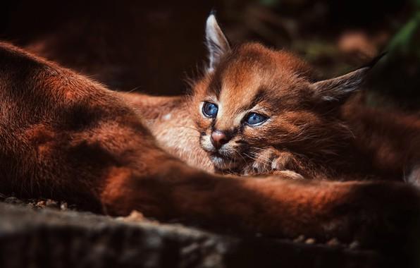 Картинка лес, кошка, взгляд, свет, фон, малыш, лежит, котёнок, рысь, мордашка, детеныш, дикая кошка, каракал, рысенок, …