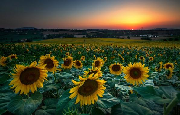 Картинка лето, подсолнухи, цветы, желтые, много, подсолнечник, плантация, поле подсолнухов