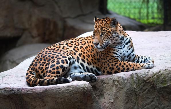 Картинка взгляд, поза, камни, фон, лапы, лежит, ягуар, зоопарк