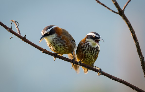 Картинка птицы, ветка, парочка