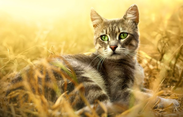 Картинка кошка, трава, кот, взгляд, свет, природа, поза, фон, отдых, поляна, портрет, лежит, серая, мордашка, полосатая, …