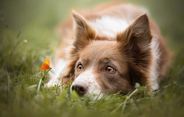 Картинка лето, трава, глаза, взгляд, морда, крупный план, природа, бабочка, поляна, портрет, собака, оранжевая, желтые, луг, …