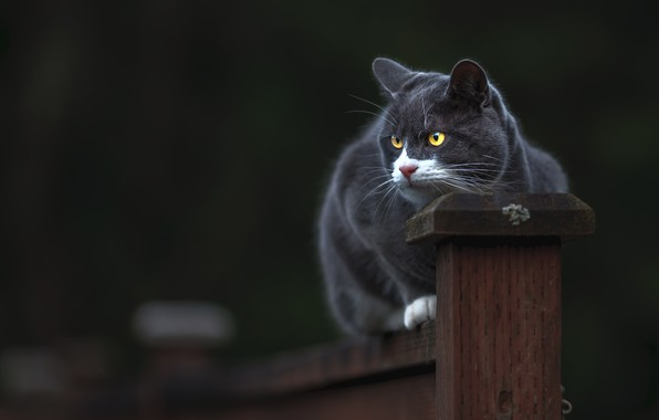 Картинка кошка, кот, взгляд, морда, поза, темный фон, серый, забор, столб, сидит, дымчатый, желтые глаза