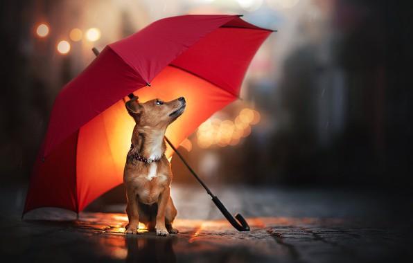 Картинка дождь, собака, зонт, пёсик