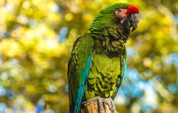 Картинка осень, взгляд, зеленый, фон, птица, листва, попугай, боке, ара, столбик, яркое оперение