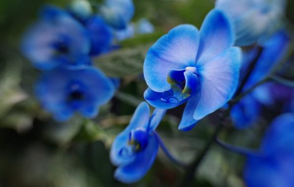 Картинка макро, размытость, голубые, орхидеи