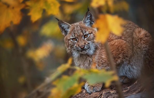 Картинка осень, взгляд, листья, хищник, рысь, дикая кошка, боке