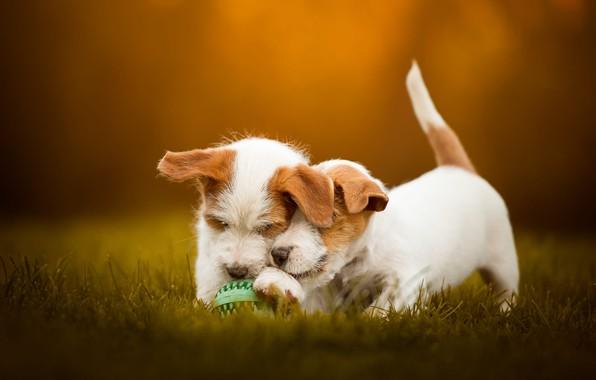 Картинка осень, собаки, трава, взгляд, морда, оранжевый, поза, фон, поляна, игра, мяч, собака, позитив, щенки, пара, …
