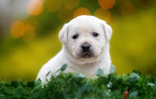 Картинка зелень, белый, трава, взгляд, листья, собака, маленький, малыш, мордочка, щенок, сидит, зеленый фон, боке