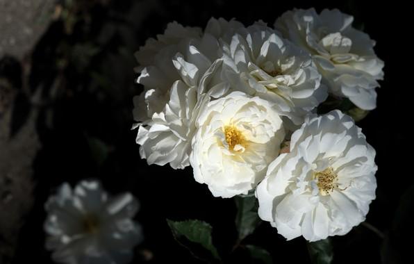 Картинка листья, свет, цветы, темный фон, розы, сад, белые, розовый куст