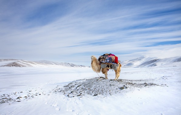 Картинка Winter, Mongolia, Camel, Migration