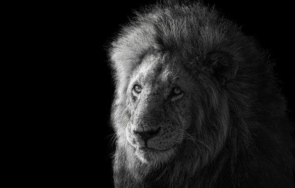 Картинка лев, царь зверей, Lion, king of the animals, James Cai