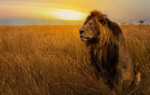 Картинка поле, небо, трава, взгляд, закат, поза, лев, грива, царь зверей, сидит, дикая кошка