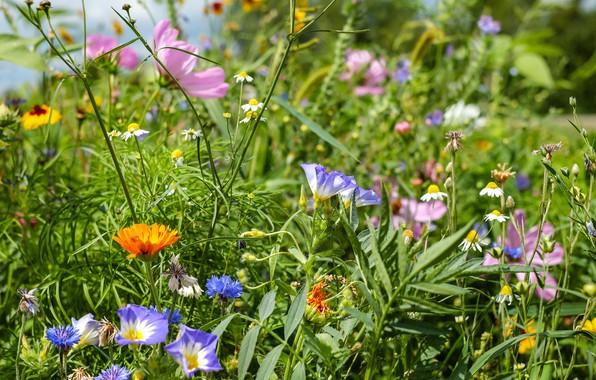 Картинка лето, трава, цветы, луг
