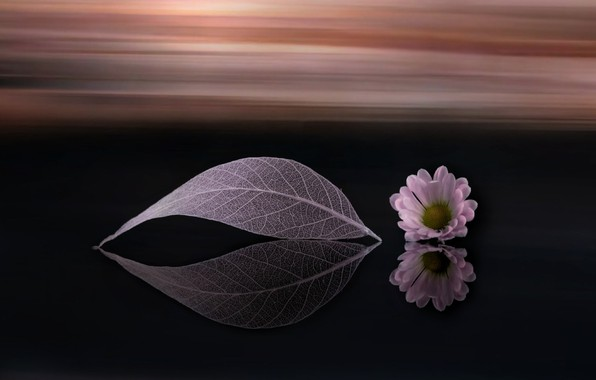 Картинка цветок, лист, фон, ромашка