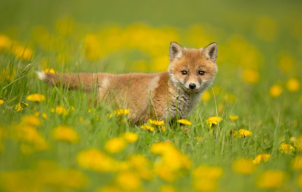 Картинка зелень, трава, взгляд, цветы, природа, поза, фон, поляна, весна, желтые, малыш, лиса, одуванчики, лужайка, лисица, ...