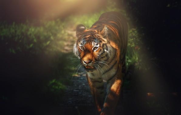 Картинка природа, тигр, зверь