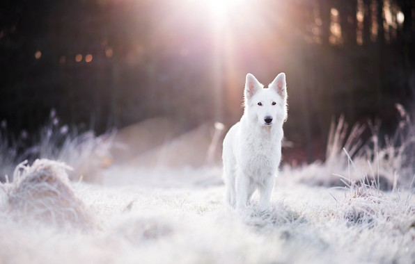 Картинка зима, иней, лес, трава, свет, собака, боке, швейцарская овчарка