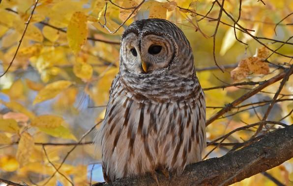 Картинка осень, листья, ветки, сова, птица, листва, желтые, неясыть, пестрая