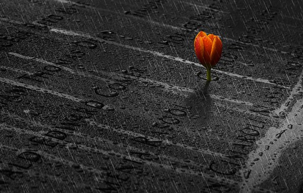 Картинка память, дождь, тюльпан, rain, memory, tulip, Ibrahim Nabeel
