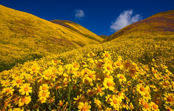 Картинка цветы, холмы, Калифорния, California, Монолопия, Carrizo Plain National Monument