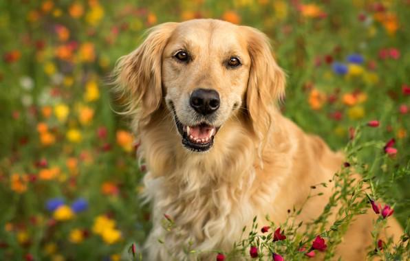 Картинка взгляд, морда, цветы, портрет, собака, боке, Голден ретривер, Золотистый ретривер