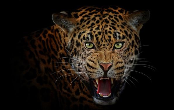 Картинка язык, взгляд, морда, портрет, хищник, пасть, леопард, клыки, оскал, злой, ягуар, черный фон, дикая кошка