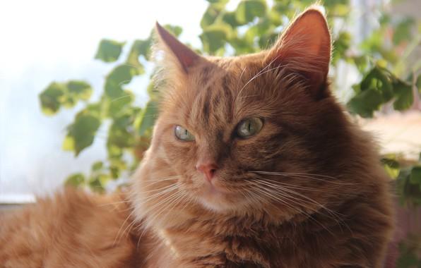 Картинка весна, Кот, рыжий, на солнышке, умный, безупречный