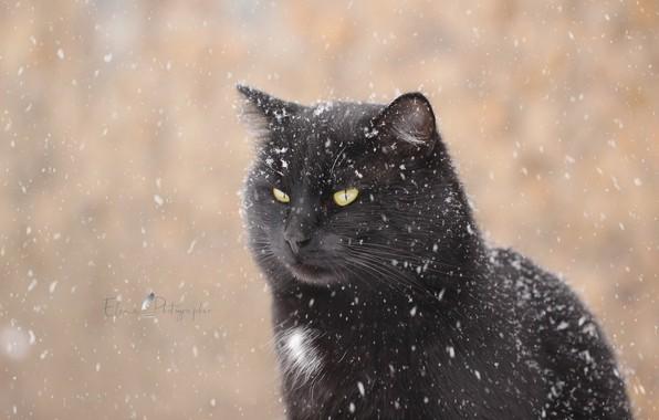 Картинка зима, кот, взгляд, снег, фон