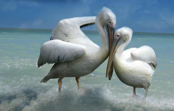 Картинка море, небо, любовь, птицы, поза, фон, две, пара, прибой, ласка, белые, влюбленные, двое, пеликаны