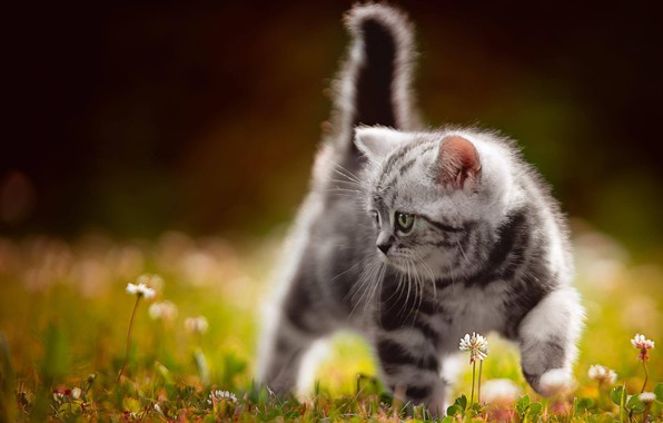 Картинка цветы, серый, малыш, прогулка, котёнок, боке
