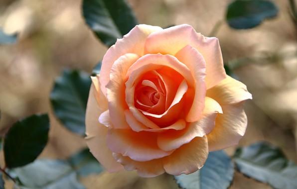 Картинка цветок, листья, свет, розовая, роза, оранжевая