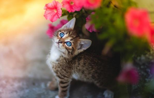 Картинка взгляд, цветы, малыш, мордочка, котёнок, петуния, голубые глазки