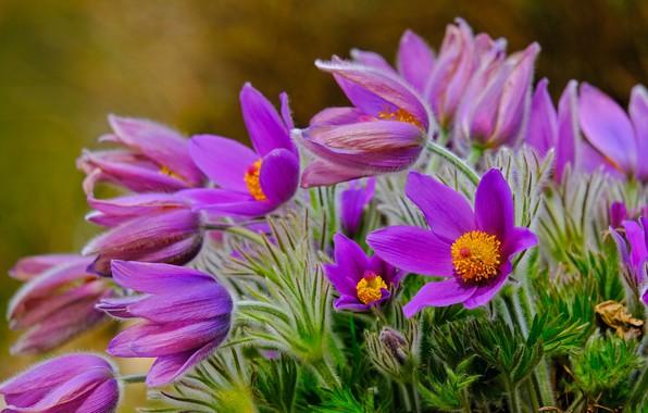 Картинка цветы, природа, весна, первоцветы, анемоны, сон-трава, прострел