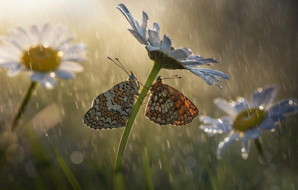 Картинка макро, бабочки, цветы, насекомые, природа, дождь, ромашки, боке, Roberto Aldrovandi