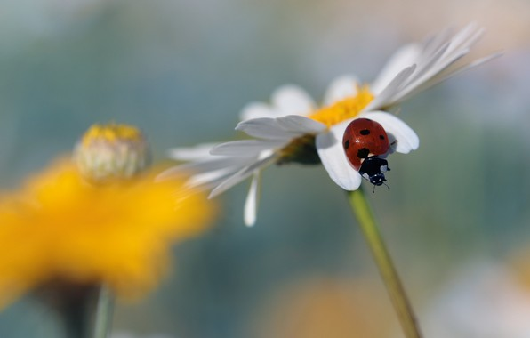 Картинка цветок, макро, фон, божья коровка, жук, размытие, ромашка, насекомое