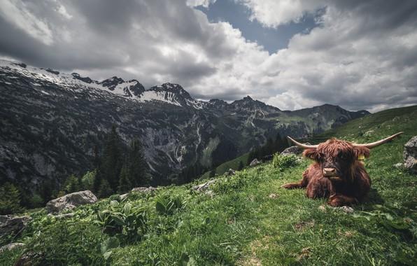 Картинка горы, природа, скот