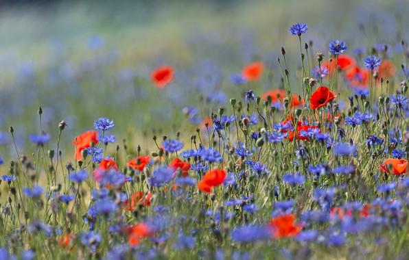 Картинка поле, лето, цветы, фон, поляна, маки, луг, красные, синие, много, боке, васильки