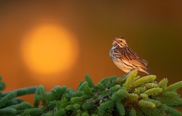 Картинка солнце, закат, ветки, фон, птица, ель, Саванная овсянка